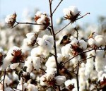 cottonseed picture